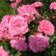 Розы Пинк Меилав