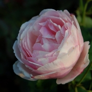 Розы Биллет Доуx