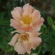 Розы Бридж оф Сайгхс