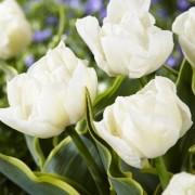 Тюльпаны Зе Эдж