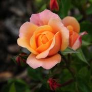 Розы Саламанса