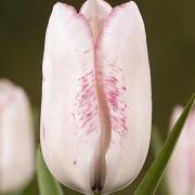 Тюльпаны Кисс