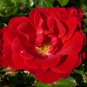 Розы Фиона