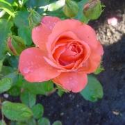 Розы Мармалад Скайс