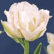 Тюльпаны Мурилло