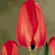 Тюльпаны Ред Букет