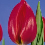 Тюльпаны Адамо