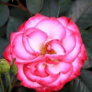 Розы Доус Симфони