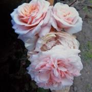 Розы Барбара Остин
