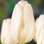 Тюльпаны Клеар Уотер