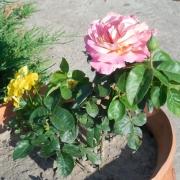 Розы Лолита