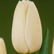 Тюльпаны Катерина