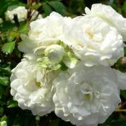 Розы Альба Меиландекор