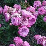 Розы Блюсетте
