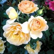 Розы Рандерс