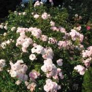 Розы Розарио