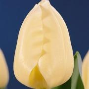 Тюльпаны Липглосс