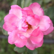 Розы Центенаире де Лурдес