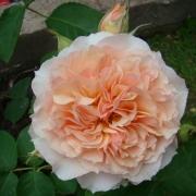 Розы Фроуфроутанте Джеки