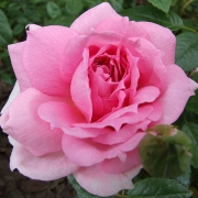 Розы Ламберт Клоссе
