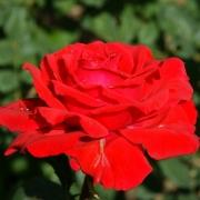 Розы Аида