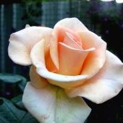 Розы Мэрлин Монро