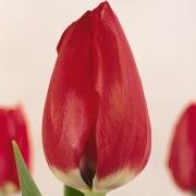 Тюльпаны Селебрейшн