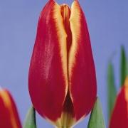Тюльпаны Нешвилл