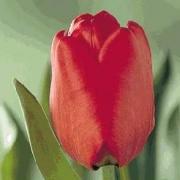 Тюльпаны Лондон