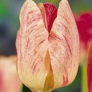 Тюльпаны Дирк Шеринга