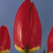 Тюльпаны Ред Фэйворит