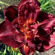 Daylily Burgundy Love