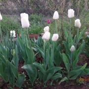 Тюльпаны Калгари