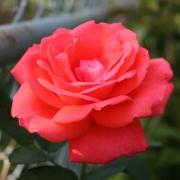 Розы Тропикана