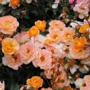 Розы Амбер Кавер
