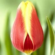 Тюльпаны Леда