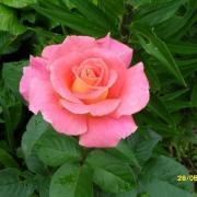 Розы Эвелин Делиат