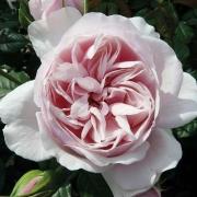 Розы Наташа Ричардсон