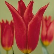 Тюльпаны Дианито