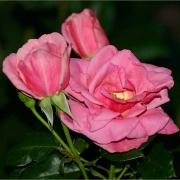 Розы Жаклин Небоут