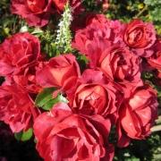 Розы Хот Кокоа