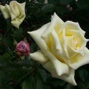 Розы Каролине де Монако