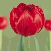 Тюльпаны Ред Нова
