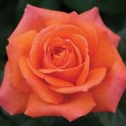 Розы Смути