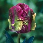 Тюльпаны Раи