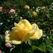 Розы Дюна