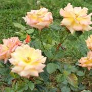 Розы Пискипер