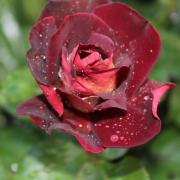 Розы Эдди Митчелл
