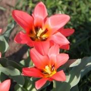 Тюльпаны Оранж Торонто