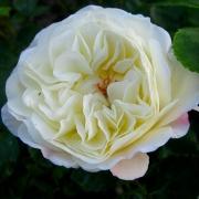 Розы Цертиниа